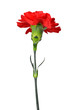 canvas print picture - red carnations flower isolated on white background