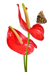 Red anthurium with butterfly isolated on white
