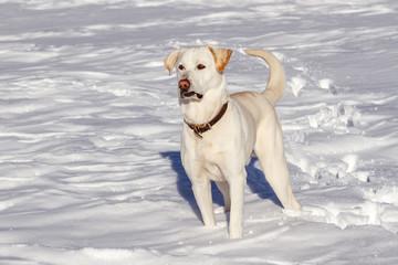 Perro Labrador Retriever en la nieve.