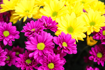 purple and yellow Chrysanthemum flower