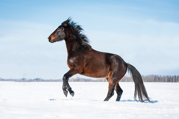 Beautiful bay horse rearing up in winter