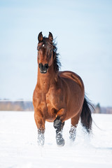 Beautiful bay horse running in winter