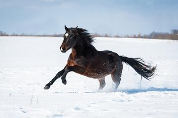 Beautiful bay horse running gallop in winter