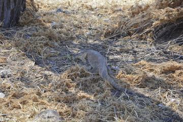 Monitor Lizard, Namibia Afrika