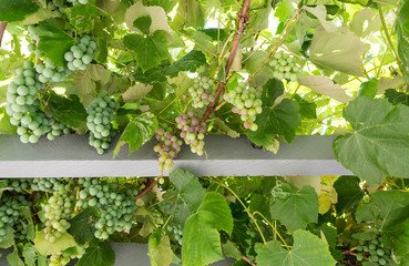 Grape Arbor from Below