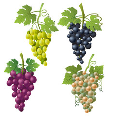 Set of illustrations of different grape varieties