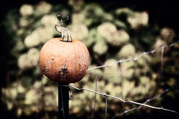 Pumpkin on a Wire Fence