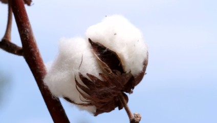 Cotton plant . Macro ( 1080 HD video )