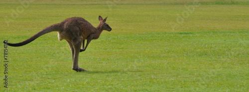 Foto op Aluminium Kangoeroe Kangaroo