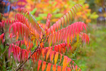Colorful Sumac Leaves