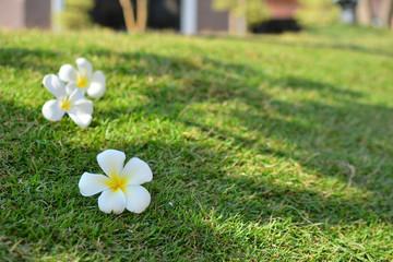 plumeria on the grass