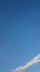 空を飛ぶハト