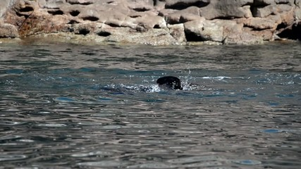 Sea Lion Seal while playing in the water