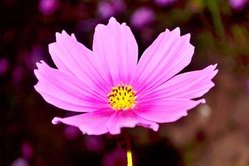 purple cosmea (cosmos) flower
