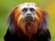 Lion Tamarin - 78159564