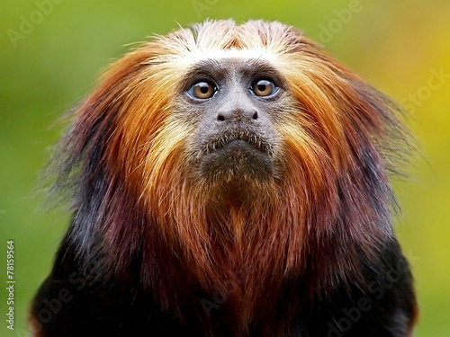 In de dag Aap Lion Tamarin