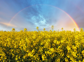 Rape yellow field with rainbow