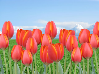 multiple red orange tulips in a field with grass and sky