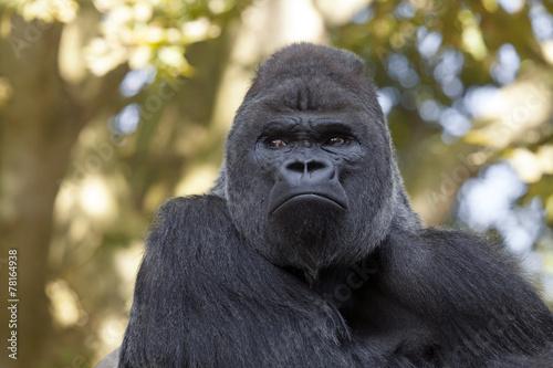 Foto op Canvas Aap gorilla silverback