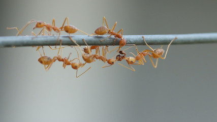 Red weaver ant working.