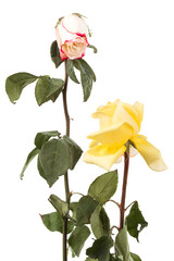a dry roses