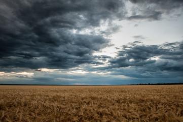 dark wheat field. Summer landscape