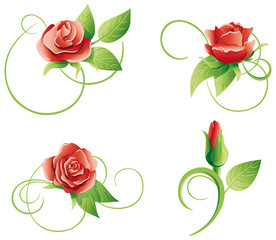 Set of four roses on a white background.
