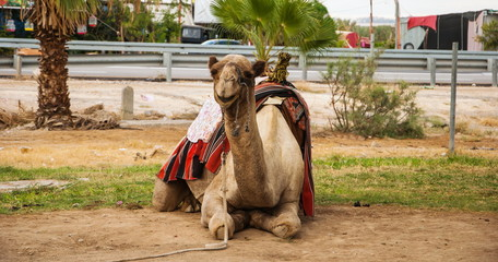 Camel in the desert oasis in Israel