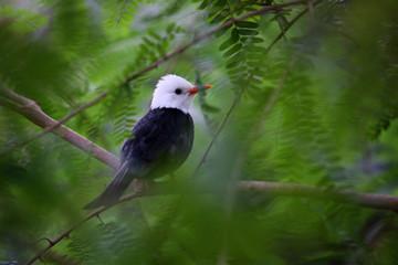 Rotschnabel-Fluchtvogel