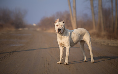 Dirty Dogo Argentino in Nature