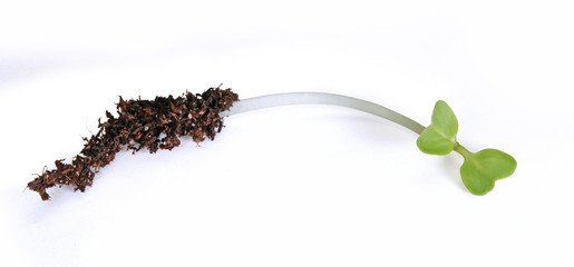 plantule de radis
