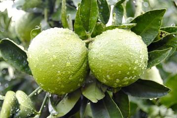 Naranja verde con gotas de agua