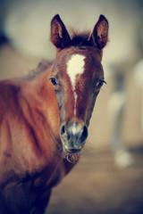 Portrait of a brown foal.