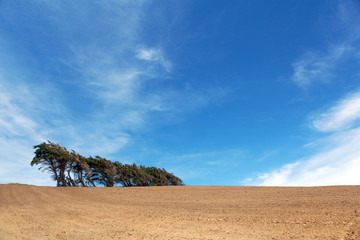 Windsept trees standing on a ploughed field, Southland, New Zeal