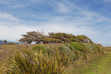 Iconic windswept trees of New Zealand