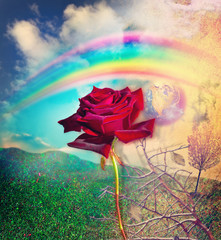Rainbow and red rose in the valley