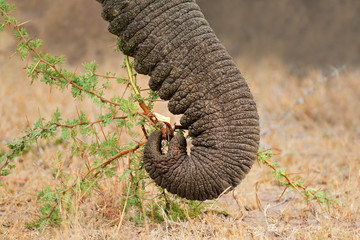 Close-up of the trunk of a feeding African elephant