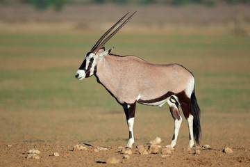 Gemsbok antelope, Kalahari desert