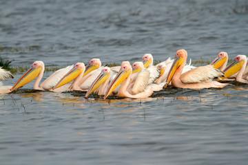 Great white pelicans, Lake Nakuru National Park