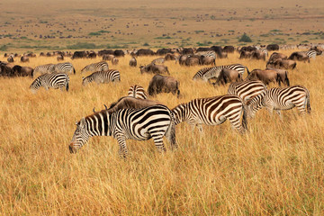 Zebras and wildebeest grazing, Masai Mara