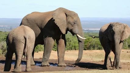 African elephants, Addo Elephant National Park