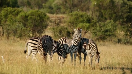 Plains zebras in natural habitat