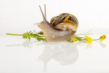 Snail isolated on white .