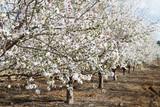 Fototapety Almond flower trees at spring