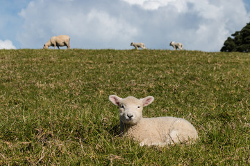lamb resting on grass with sheep in background