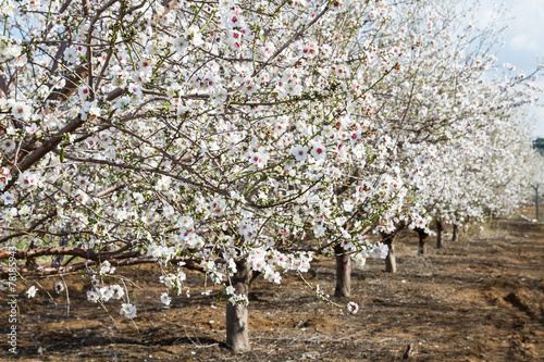 Poster Almond flower trees at spring
