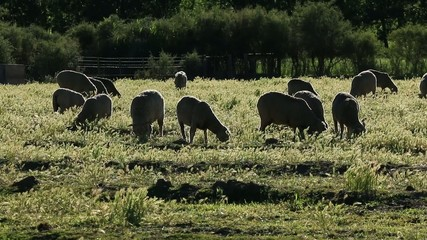 Sheep grazing on pasture, Karoo region, South Africa