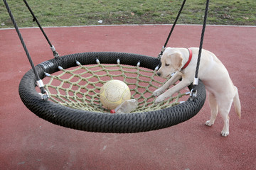 Labrador Puppy Sara trying to catch the ball in swing