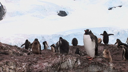 Group of Gentoo Penguins In Paradise Bay, Antarctica