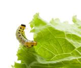 Yellow caterpillar eating lettuce leaf